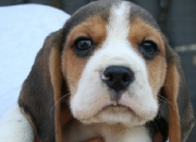 BEAGLE & PUG PUPPIES FOR SALE ,HIGHLY PEDIGREED , VERY HEALTHY