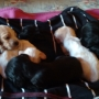 23 days cocker spaniel puppies for sale