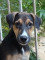 greman shepard mix pup for dogloving home