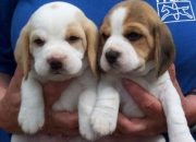 Companion Pets & Top Winning Show Dogs puppies for sale