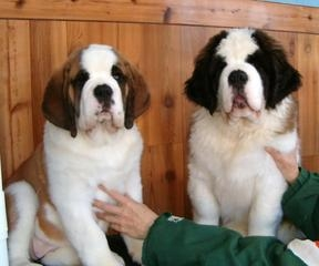 Pictures of Best quality pups at best prices--delhi 2