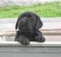 lab pup at reasonable price