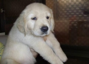 Pure Bred Golden Retriever Puppies Available for Immediate sale Call Pets 'n 'Pets - 9654656368. (Ashish)