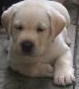 lab pups for sale