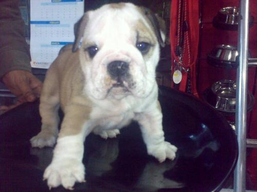 Bulldog pups for sale