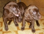 Labrador Puppies for sale.