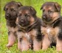 GERMAN SHEPHERED PUPPIES FOR SALE IN SHIVA KENNEL