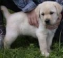 LABRADOR PUP FOR SALE IN SHIVA KENNEL