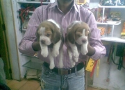 Champion Lineage Beagle Puppies for sale