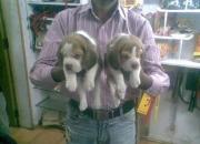 Champion lineage beaglepuppiesfor sale