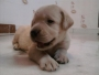 2 male and 2 female labrador for sale in delhi