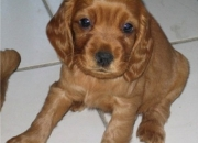 cocker spaniel puppies for sale in delhi and ncr
