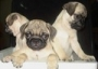 cute pug puppie for sale in delhi & ncr