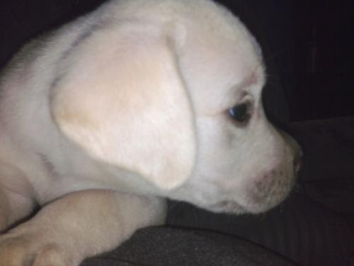 Labrador puppie for sale in delhi & ncr