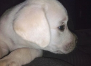 labrador puppie for sale in delhi & ncr