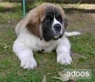Saint bernard puppies for sale in delhi & ncr