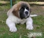 saint bernard puppies for sale in delhi & ncr