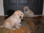 22 GOLDEN LABRADOR PUPS FOR SALE