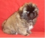 Pekingese  puppies available at Poddarkennel.