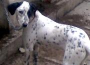 For Sale Dalmatian Female Pup 6 months (regd)