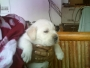 KCI Reg IMPORT & CHAMP LINE LAB & GSD PUPPs for SALE @ VN KENNELS