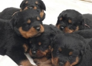 R u searching for best rottweiler puppy???contact us