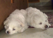 ADORABLE PURE WHITE SPITZ PUPS FOR SALE
