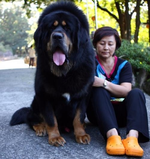 Best ever---tibetan mastiff puppies for sale--pets r world