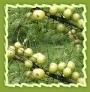 Herbal Amla, Amla Fruit, Amla Seeds And Amla Powder