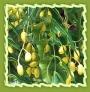 Neem Leaves, Neem Tree Leaves, Neem Fruits and Neem Tree Oil