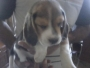 show quality beagle pups available for sale 9213738317