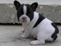FRENCH BULLDOG FOR SALE...CALL-09718292706