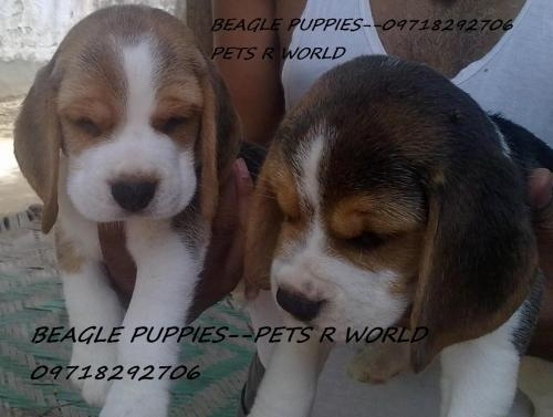Top quality beagle puppies for sale,call-09718292706