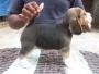 rottweiler terrier for sale