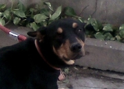 For Sale Doberman Female Pup 11 months