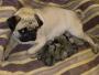 Show Quality PEKINGESE & PUG Pupps Up FOR SALE