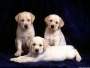 Labrador, Rottweiler Pups 4 sales & Holidays Boarding call 9250393698