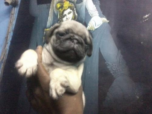 Pug pups for sale 8800535854