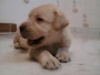 labrador pups for sale 8800535854