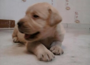 labrador pups for sale 8800535854
