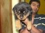 Rottweiler Pups Delhi call @ 9250734485