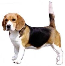 Beagle puppies in tri and bio colour