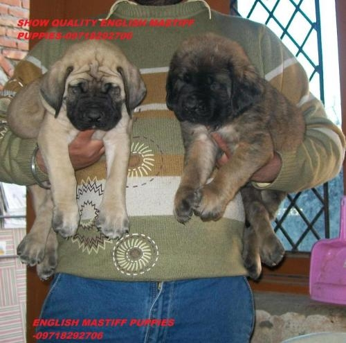 English mastiff puppies for sale--09718292706