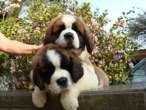 Extraordinary saint bernard puppies for sale-09718292706