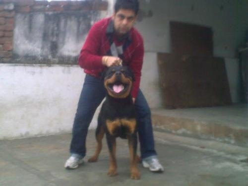 Rottweiler puppies for sale--09718292706
