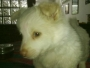 ADORABLE MALE SPITZ PUP FOR SALE