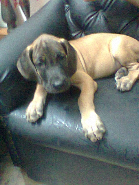 2 month old show quality greatdane puppy for sale @ 9000/- only