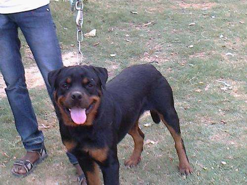 Rottweiler male 12 month for sale s/o ch. tony flash rose