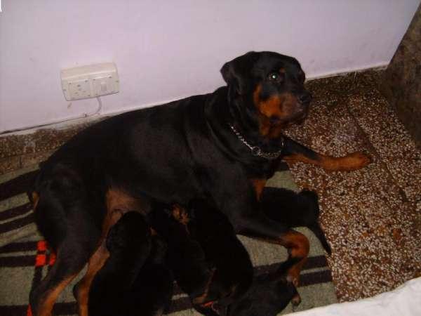 Black colour rotweiller pup for sale -22386566