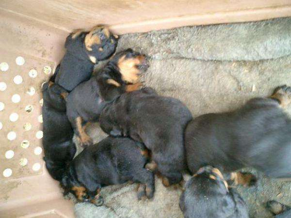 Box face rotweiller pup for sale -22386566